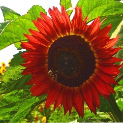 Sunflower tall 'Red sun' -...