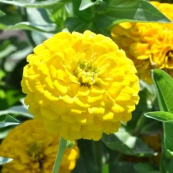 Zinnia dahlia 'Golden down'...