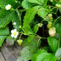Alpine Strawberry 'White...