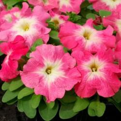 Petunia F1 'Pink Morn' -...