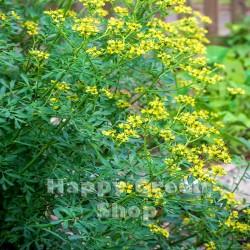 Rue - 250 seeds (Ruta...