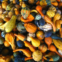 Ornamental gourds mix - 25...