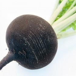 Radish black 'Kulata cerna'...
