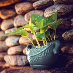 Coffee plant - 10 seeds...
