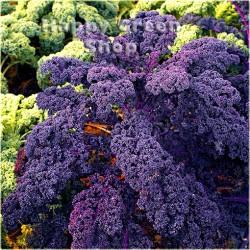 Kale 'Scarlet' - 800 seeds...