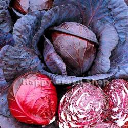 Red cabbage 'Ruphus' - 800...