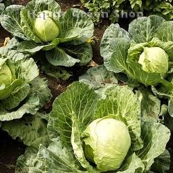 Cabbage 'Polar' - 400 seeds...
