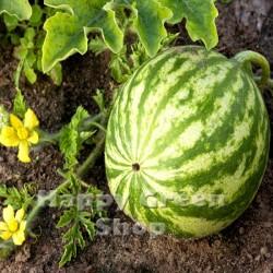 Watermelon 'Crimson sweet'...
