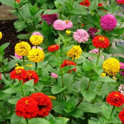 Zinnia dahlia tall mixed -...