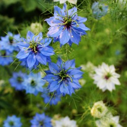 Love in a mist 'Miss...