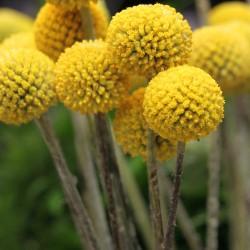 Drumstick flower - 300...