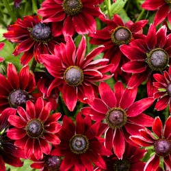 Rudbeckia 'Cherry brandy' -...