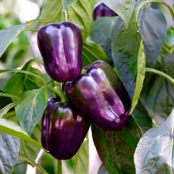 Sweet pepper Purple bell -...