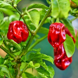 Hot Chilli Pepper...