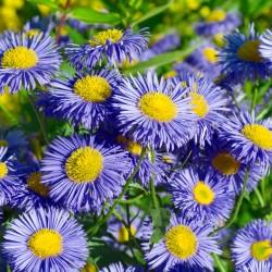 Fleabane Daisy Blue - 200...