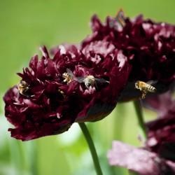 Black Peony - 500 seeds...