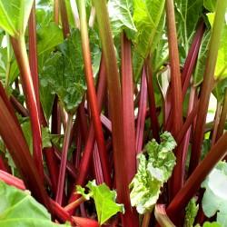 Rhubarb 'Glaskins...
