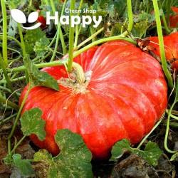 Pumpkin 'Rouge d'Etampes'...