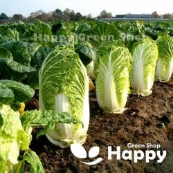 Chinese cabbage 'Hilton' -...