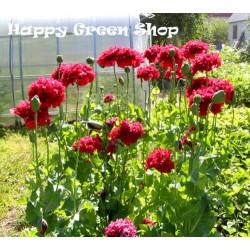 Peony Poppy Red - 500 seeds...