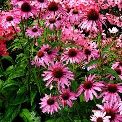 Echinacea 'Purple...