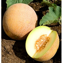 Melon 'Ananas' - 40 seeds...