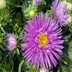 Needle aster purple - 450...