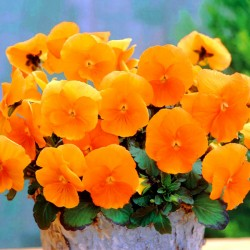 Pansy Clear Crystals orange...