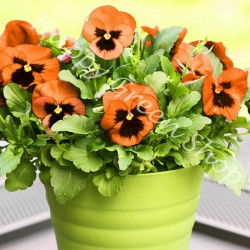 Pansy Swiss giant 'Flame'...