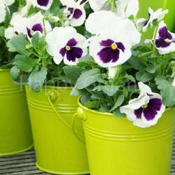 Pansy Swiss giant White...