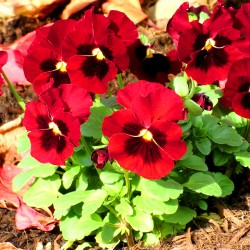 Pansy Swiss giant Red...