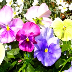 Pansy Pastel mixed - 70 seeds