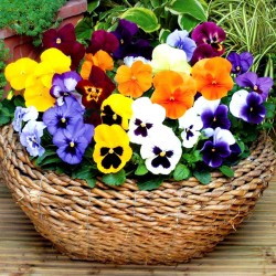 Pansy winter flowering -...