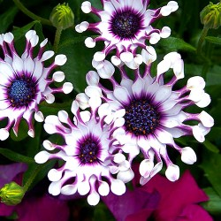 African Daisy white - 30...