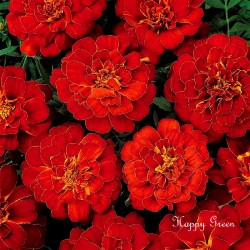 French marigold Double...