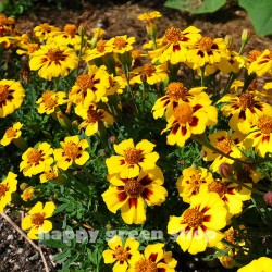 French marigold 'Legion of...