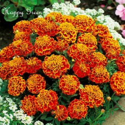 French marigold 'Honeycomb'...