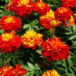French marigold 'Carmen' -...