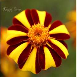 French marigold 'Dandy...