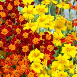 Signet marigold Gem mixed -...