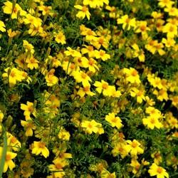 Signet marigold Lemon Gem -...