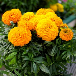 copy of French marigold...
