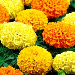 African marigold...