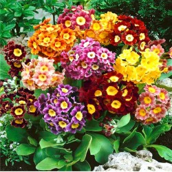 Primrose Auricula mixed -...