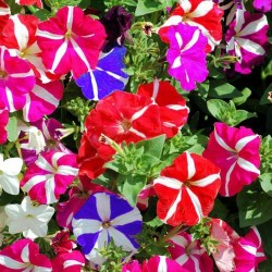 Petunia F2 Star mixed - 300...
