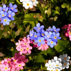 Alpine Forget-me-not mixed...