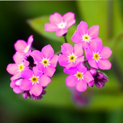 Alpine Forget-me-not Pink -...