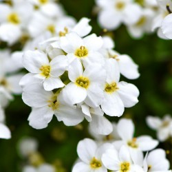 Alpine Forget-me-not White...