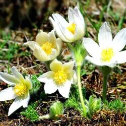 Pasque flower white - 80...
