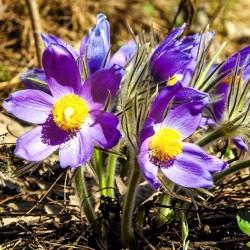 Pasque flower Purple - 100...